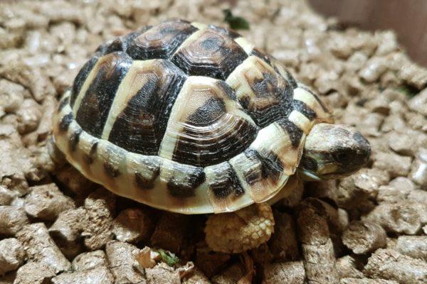 Сухопутная Средиземноморская черепаха занесенная в Красную Книгу