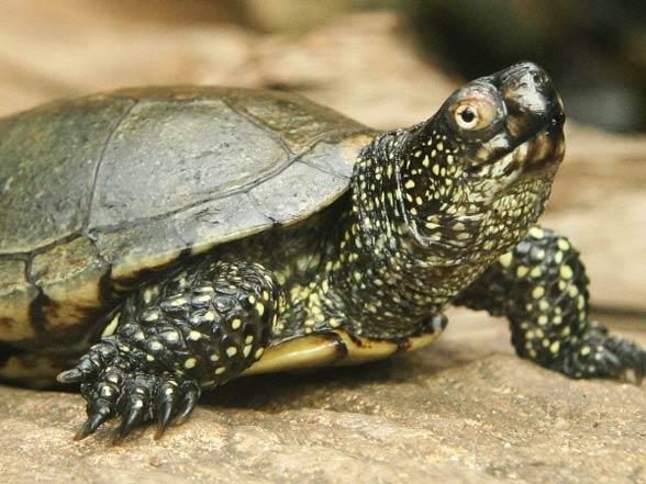 Внешний вид болотной черепахи