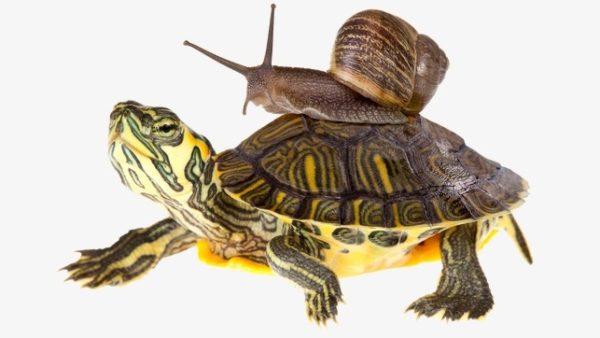 Улитка едет на панцире у черепахи