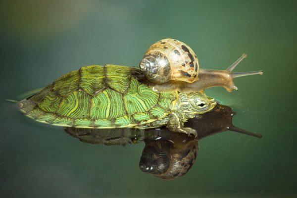 Улитка на панцире у водяной черепахи