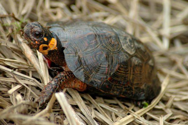 Болотная черепаха Мюленберрга