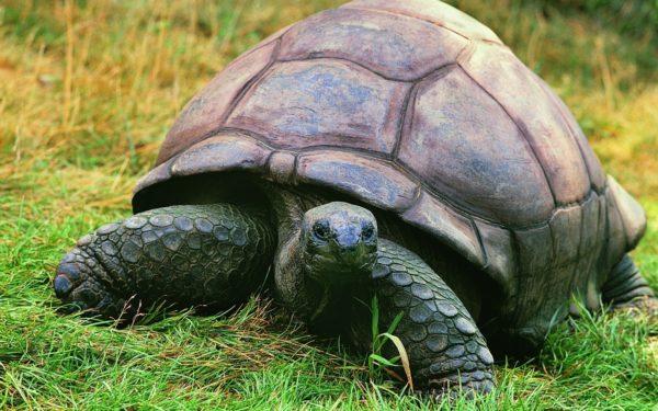 Большая слоновая черепаха