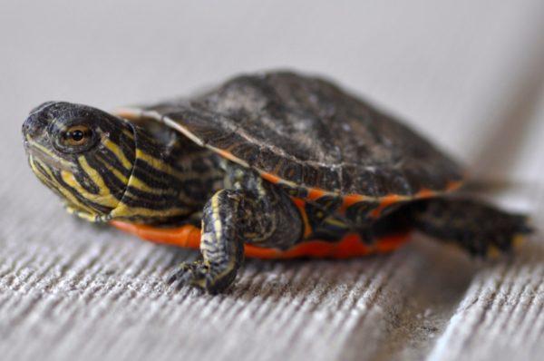 Черепаха украшенная Нельсона