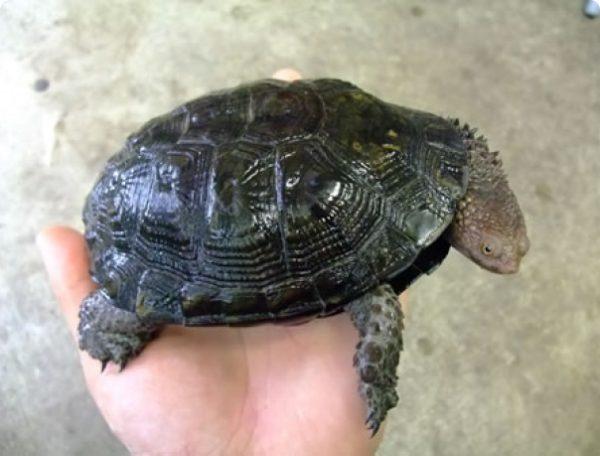 Чёрная колючешейная болотная черепаха