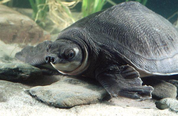 Двухкоготная свинорылая черепаха
