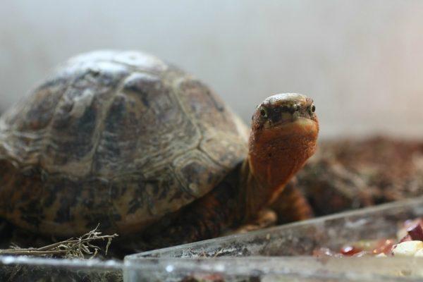 Индокитайская гигантская шиповая черепаха
