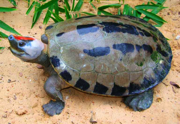 Черепаха Каллагур