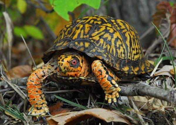 Каролинская коробчатая черепаха