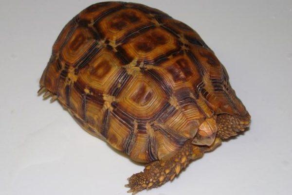 Черепаха Киникса Лаботса