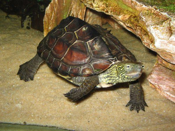 Китайская трёхкилевая черепаха