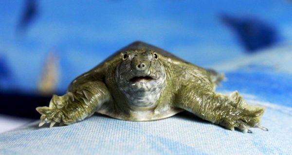 Китайский трионикс черепаха