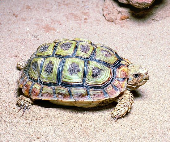 Клювастая капская африканская черепаха
