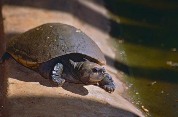 Мадагаскарская большеголовая черепаха