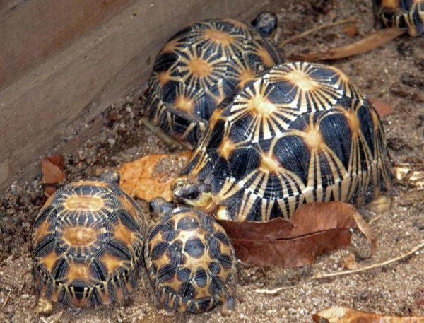 Мадагаскарская лучистая черепаха