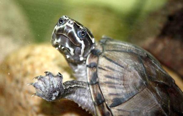 Мускусная черепаха - самая маленькая пресноводная черепаха