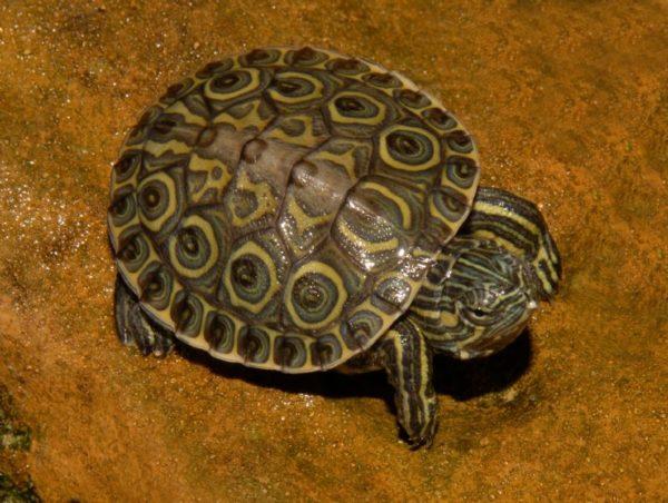 Никарагуанская черепаха