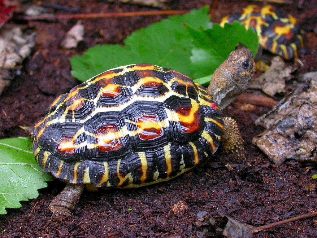 Паучья черепаха