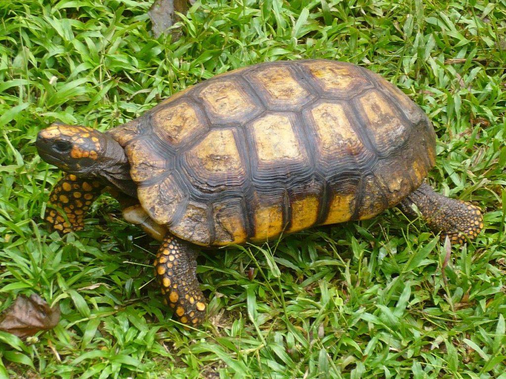 Продолговатая черепаха