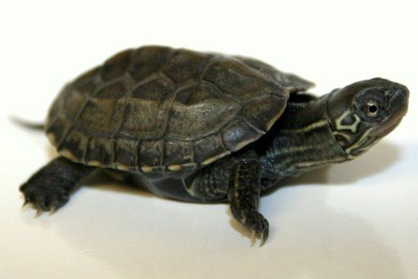 Черепаха Ривза