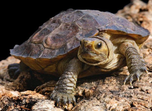 Сулавесская лесная черепаха