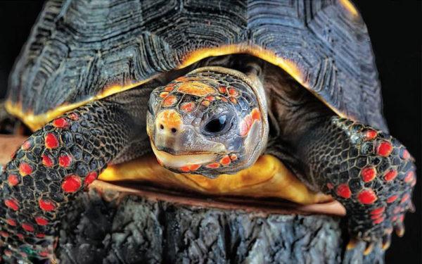 Угольная красноногая черепаха