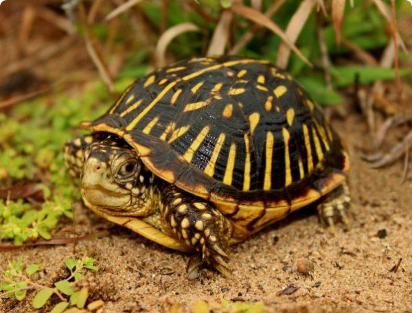 Ветееватая черепаха