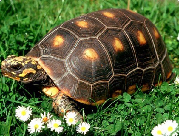 Зубчатая желтоногая черепаха