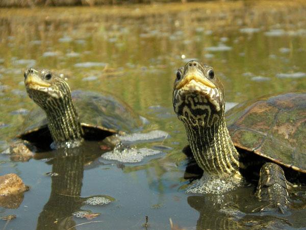 Сухопутная Балканская черепаха Сухопутная занесенная в Красную Книгу