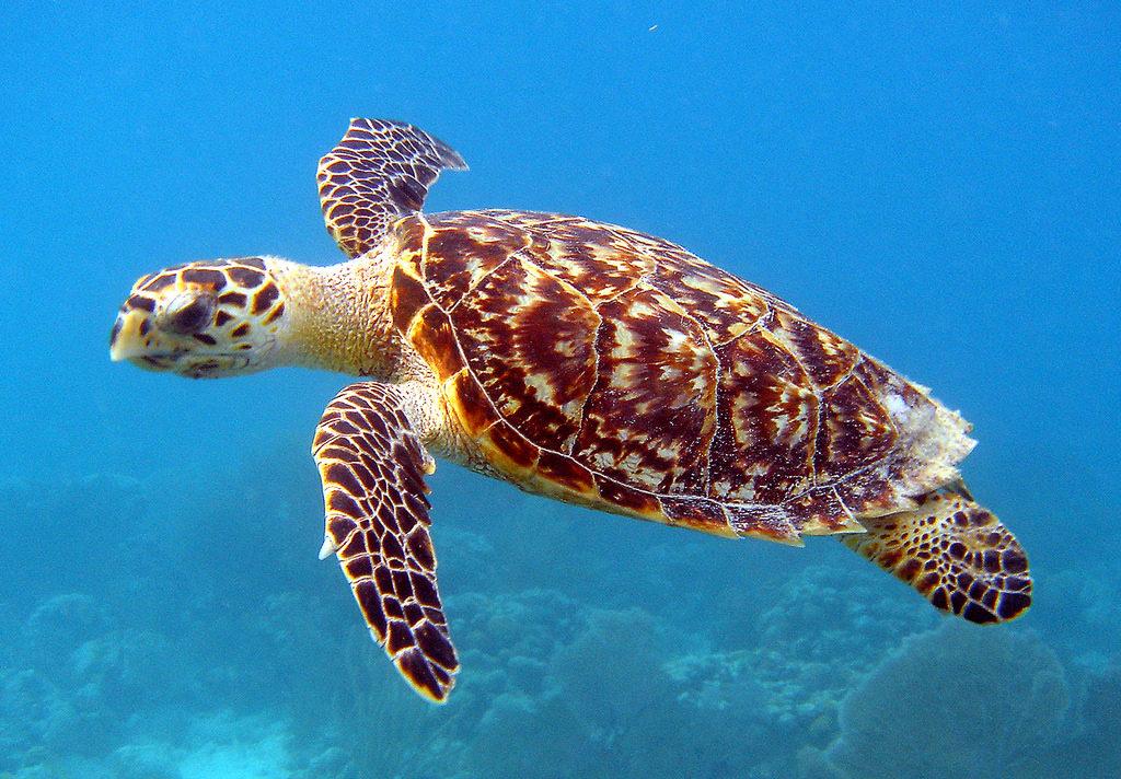 Морская черепаха Бисса занесенная в Красную Книгу