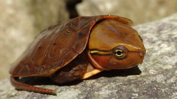 Пресноводная большеголовая черепаха занесенная в Красную Книгу