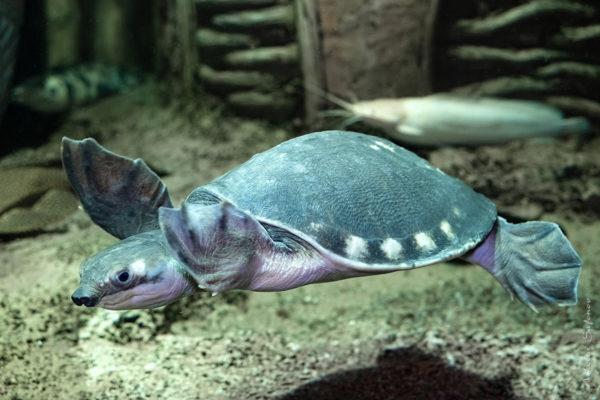 Пресноводная Двухкоготная черепаха занесенная в Красную Книгу