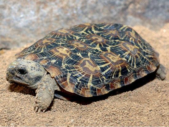 Сухопутная Эластичная черепаха занесенная в Красную Книгу