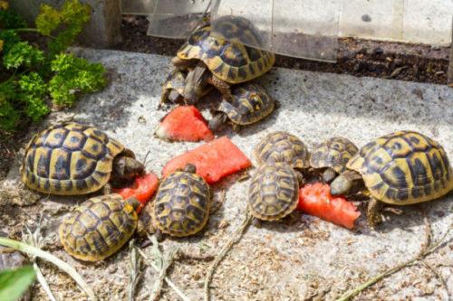Среднеазиатские черепах едят арбуз
