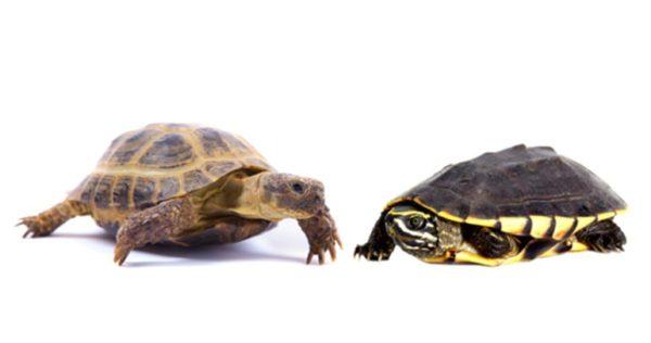 Водная и сухопутная черепаха