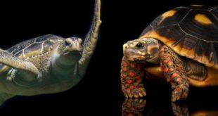 Черепахи занесенные в Красную Книгу