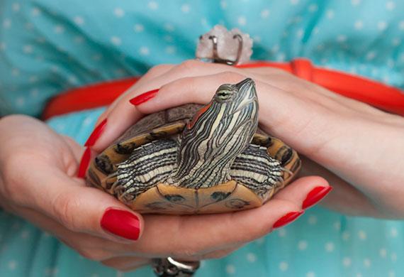 Красноухая черепаха на руках у женщины