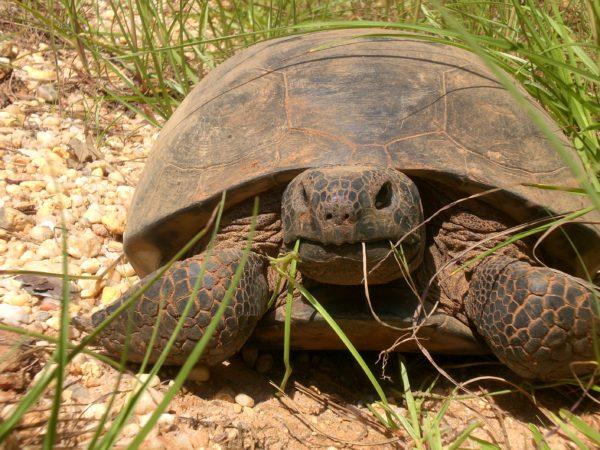 Черепаха породы гофер