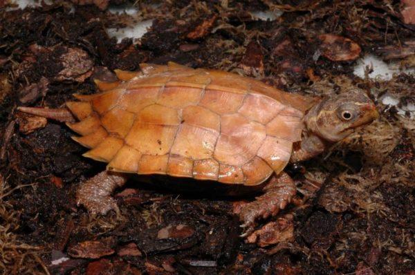Пресноводная Горная черепаха занесенная в Красную Книгу
