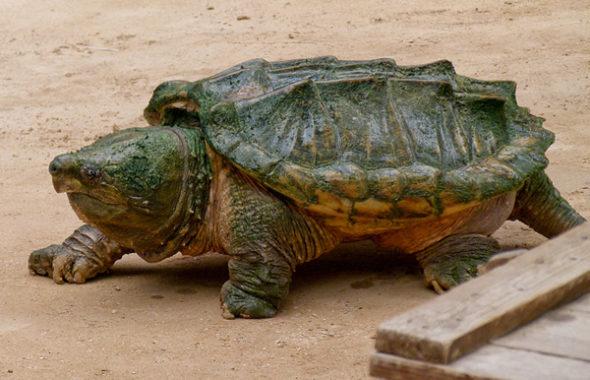 Пресноводная Каймановая черепаха занесенная в Красную Книгу