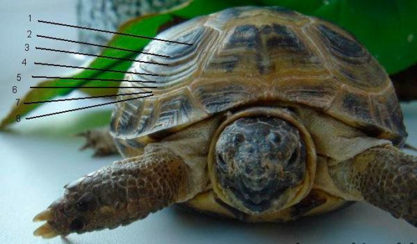 Концентрические кольца на панцире у черепахи