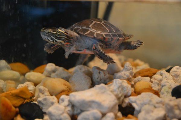 Линька у водной черепахи