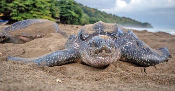 Гигантская кожистая черепаха