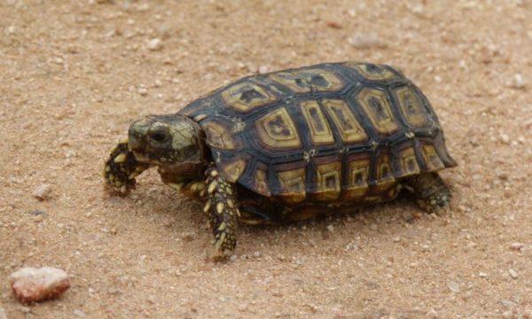 Сухопутная черепаха Киникса Зубчатая занесенная в Красную Книгу