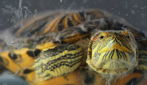 Линька у красноухой черепахи