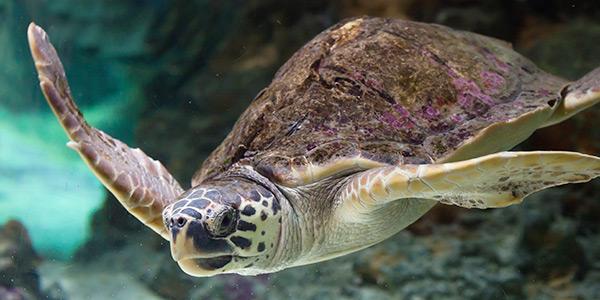 Морская черепаха Логгерхед занесенная в Красную Книгу