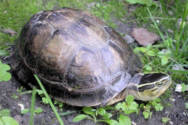 Пресноводная Малайская черепаха занесенная в Красную Книгу