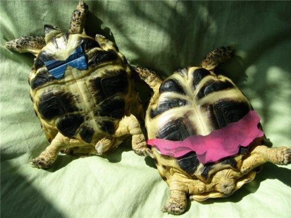 Черепаха самка и самец