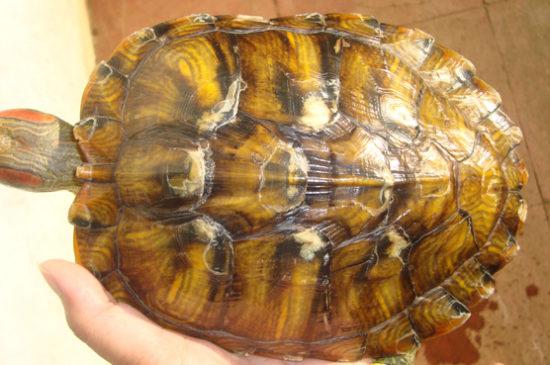 Микоз у черепахи