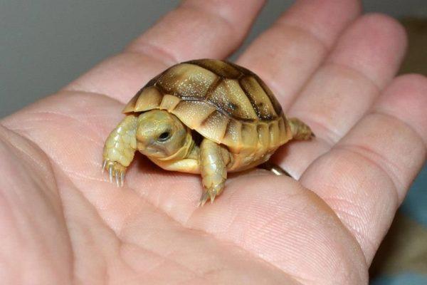 Среднеазиатская новорожденная черепашка