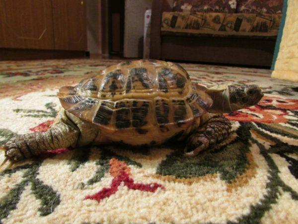 Отказ задних конечностей у черепахи